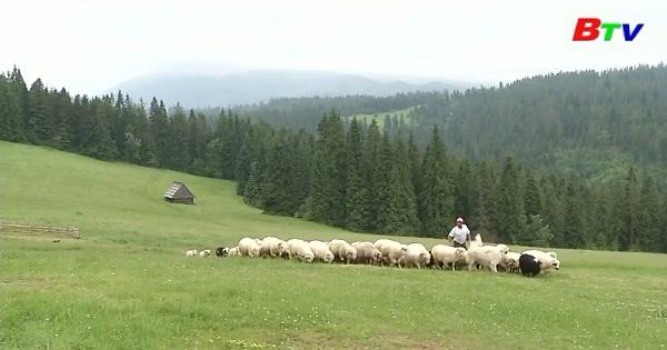 Chuyện về người phụ nữ chăn cừu đầu tiên ở Ba Lan