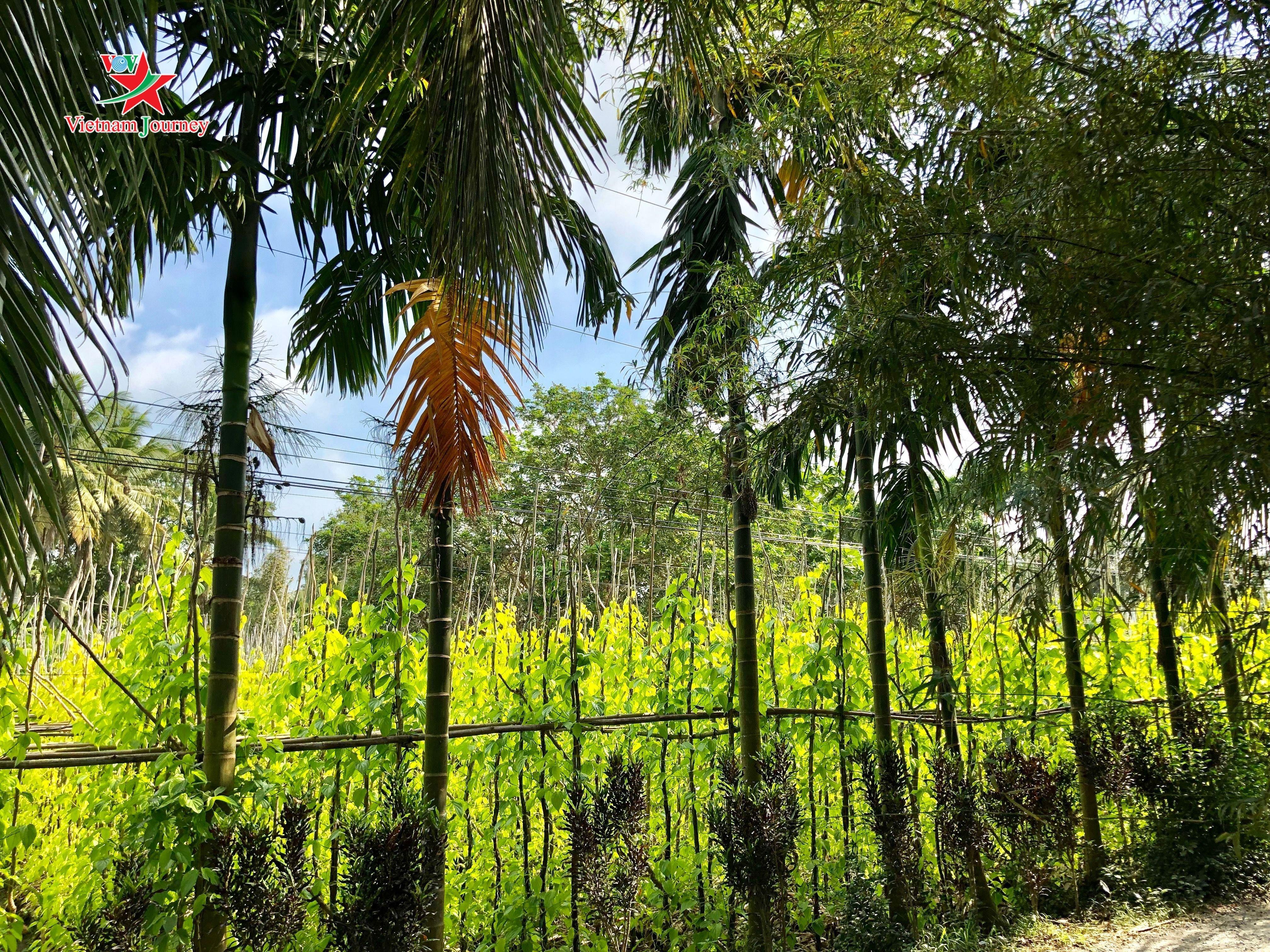 Tết về vườn trầu lớn nhất Đồng bằng sông Cửu Long