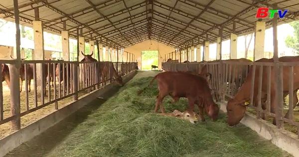 Kỹ thuật ủ cỏ chăn nuôi gia súc lớn