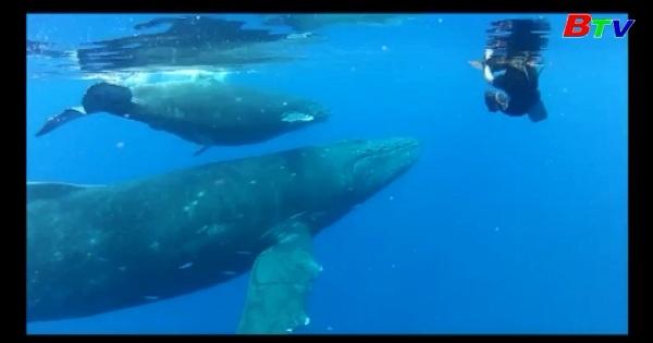 Phát hiện phương thức giáo tiếp bí mật của loài cá voi lưng gù