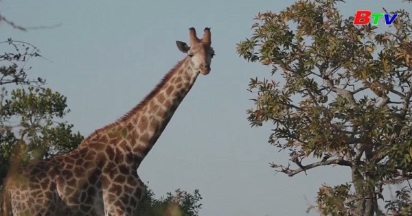 Nhiều tổ chức và chuyên gia kêu gọi  bảo vệ loài hươu cao cổ Châu Phi
