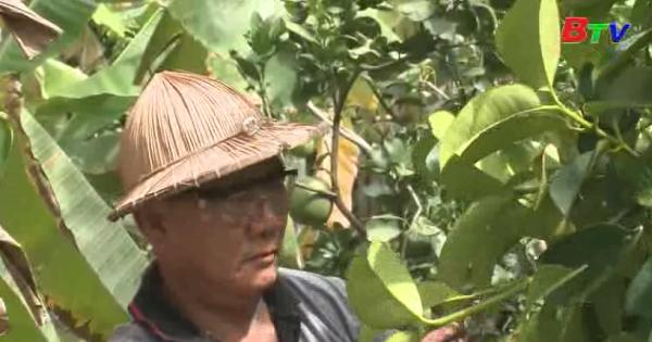 Hiệu quả từ chính sách hỗ trợ khôi phục vườn cây ăn trái đặc sản Lái Thiêu - Thuận An