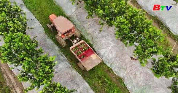 Vườn cam Organic trên đất Bình Dương