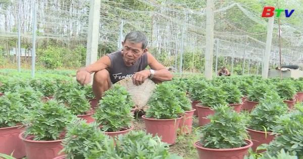 Phấn khởi nghề trồng hoa tết ở Phú Giáo