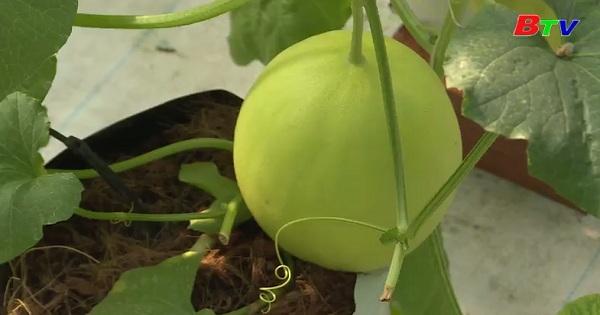 Kỹ thuật trồng và chăm sóc dưa lưới