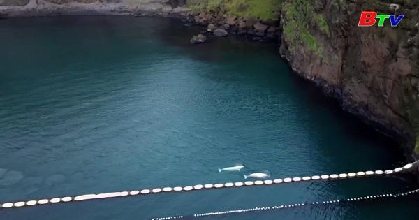 Iceland - Cá voi Beluga được thả về biển