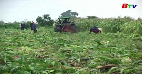 Kỹ thuật trồng bắp chăn nuôi gia súc