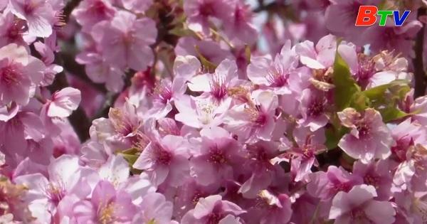 Lễ hội hoa anh đào Nhật Bản tiếp tục bị hủy bỏ do covid-19