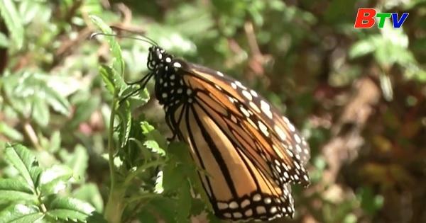 Lượng bướm chúa di cư về Mexico để ngủ đông giảm mạnh