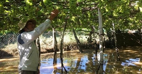 Nông dân Ninh Thuận dồn sức cứu cây trồng ngập úng do mưa, lũ