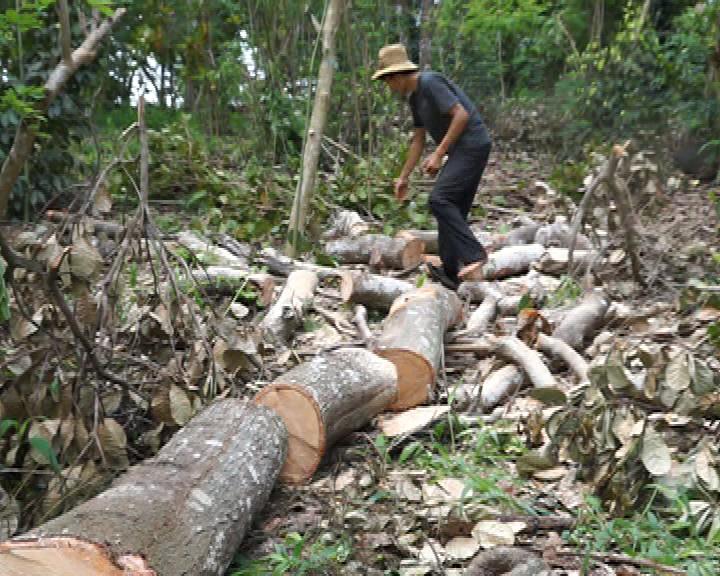 Người dân Đồng Nai ồ ạt chặt bỏ cây điều
