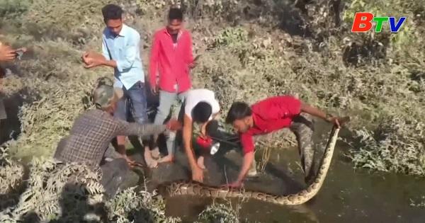 Giải cứu con trăn khổng lồ ở Ấn Độ