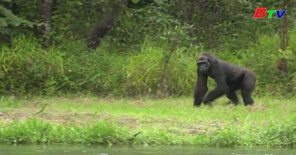 Nỗ lực đưa khỉ đột về với môi trường tự nhiên