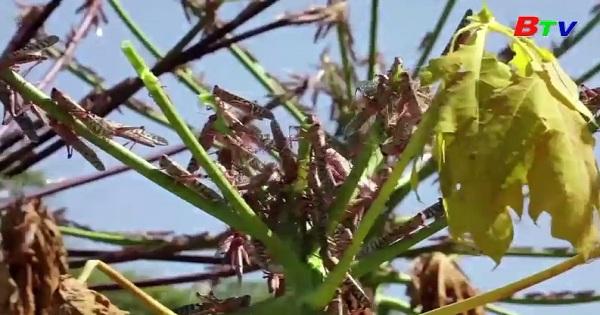 Các nhà khoa học ở Kenya nghiên cứu các biện pháp thân thiện để đối phó với dịch châu chấu