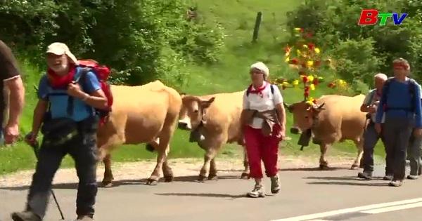 Độc đáo mùa di chuyển gia súc của nông dân Pháp