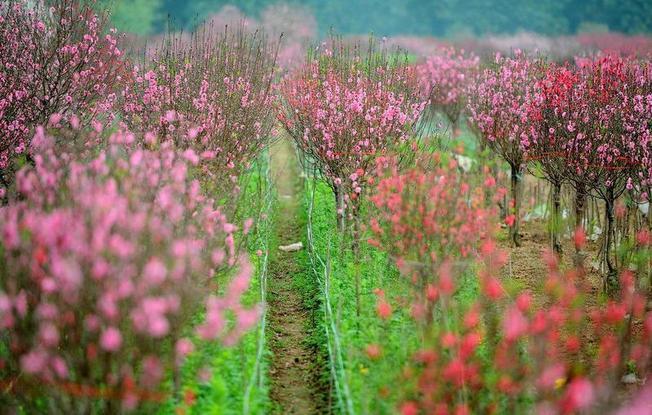 Làng hoa đào Phú Thọ vào vụ Tết