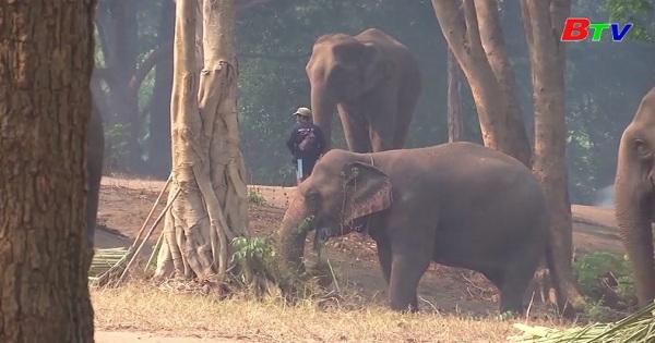 Đời sống loài voi ở Thái Lan ảnh hưởng bởi dịch bệnh covid-19
