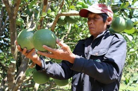 Bưởi da xanh giúp người dân vùng cao Ninh Thuận thoát nghèo