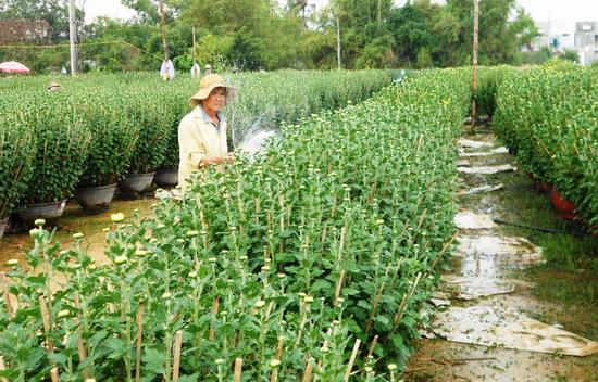 Người trồng hoa cúc Bình Định phấn khởi vì hoa nở đúng dịp Tết