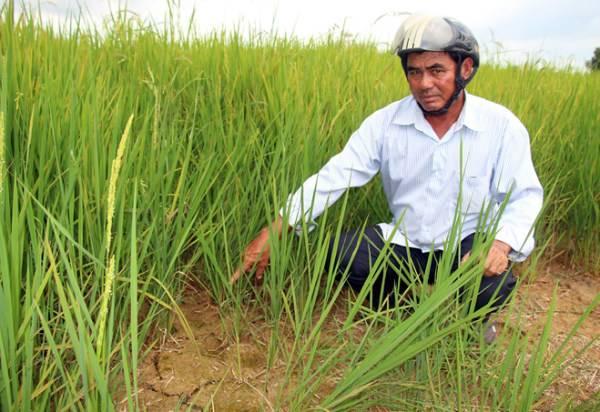 Hàng chục ngàn ha lúa ở Kiên Giang thiếu nước