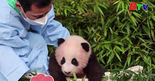 Gấu trúc Panda ra mắt tại sở thú Hàn Quốc