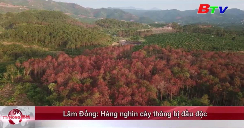 Lâm Đồng: Hàng nghìn cây thông bị đầu độc