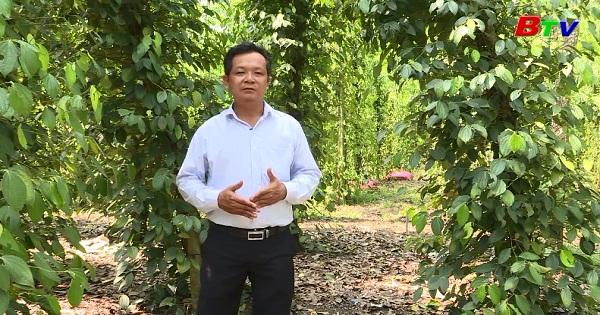 Kỹ thuật trồng tiêu bền vững hướng hữu cơ