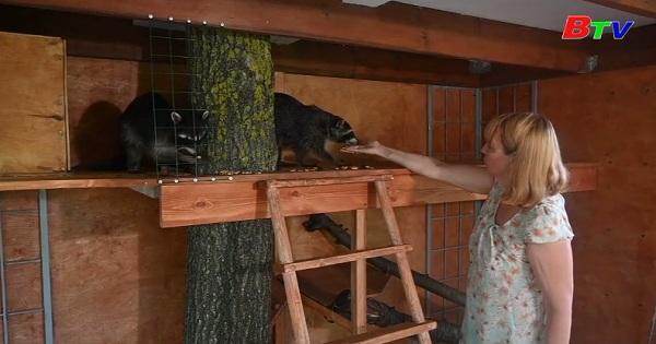 Nuôi dưỡng gấu mèo bị bỏ rơi ở Nga