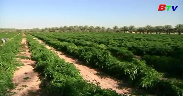 Nông dân sa mạc Qatar làm đất riêng để trồng nấm