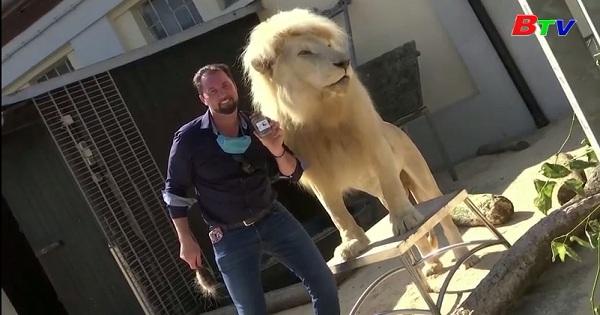 Sở thú Krone Munich - Đức tìm thấy nguồn thu nhập bổ sung nhờ bán phân sư tử