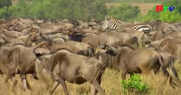 Kenya - Mùa di cư của linh dương đầu bò ở khu bảo tồn Masai Mara  vắng bóng du khách quốc tế