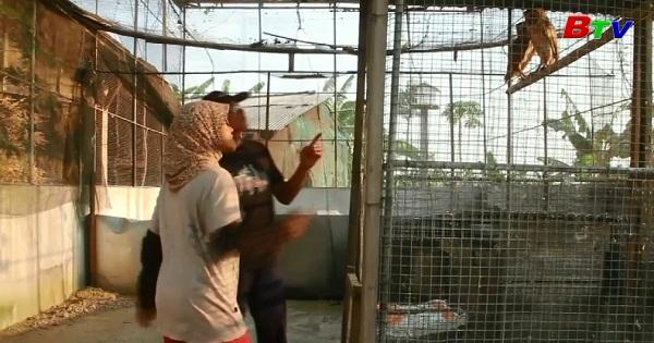 Indonesia - Phát triển dự án đưa chim cú trở về nơi hoang dã