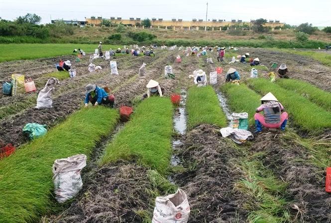 Rộn ràng làng trồng củ kiệu vào vụ Tết