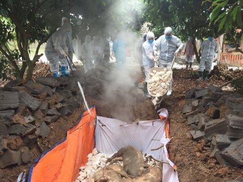 Phát hiện thêm một ổ dịch tả lợn châu Phi tại Quảng Ninh