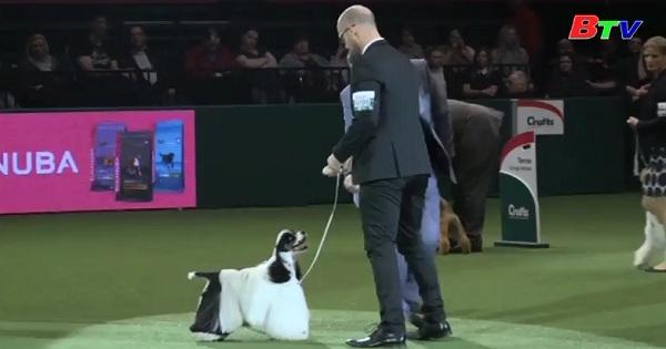 Hơn 20 ngàn chú chó tranh tài tại Best In Show  ở nước Anh