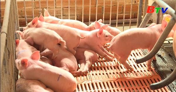Mô hình chăn nuôi heo hướng hữu cơ