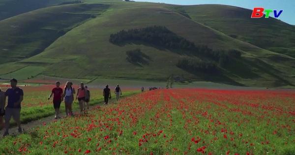 Mê mẩn với cánh đồng hoa ở đồng bằng Castelluccio , Italia