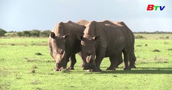 Các nhà khoa học cấy ghép thành công phôi thai  của loài tê giác trắng ở Đức