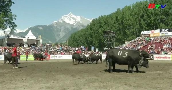 Sôi động cuộc thi đấu bó truyền thống ở Thụy Sỹ