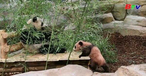 Lần đầu tiên gấu trúc con Yuang Meng ra mắt công chúng