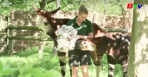 Hươu đùi vằn được thiết đãi hoa mừng đám cưới Hoàng Gia