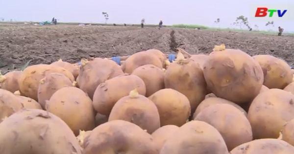Việt Nam phải nhập trên 60% khoai tây để chế biến