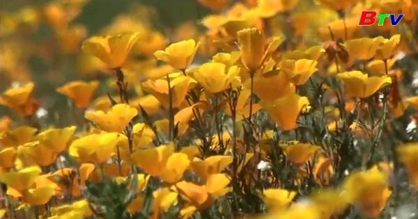 Hoa dại nở rộ ở California làm say đắm lòng người