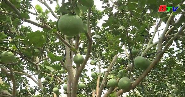 Chăm sóc vườn cây có múi trong mùa khô