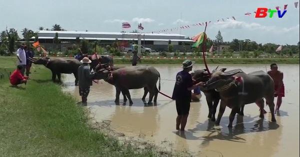 Hoạt động đua trâu đánh dấu mùa gieo hạt ở miền đông Thái Lan