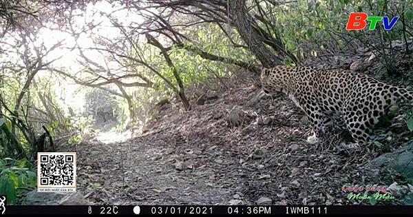 Pakistan nỗ lực bảo tồn loài Báo hoa mai