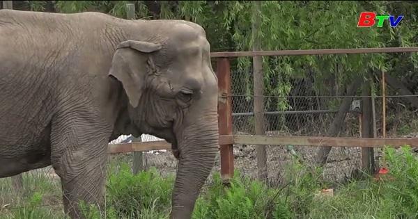 Hành trình dài của voi Ramba đến nơi ở mới