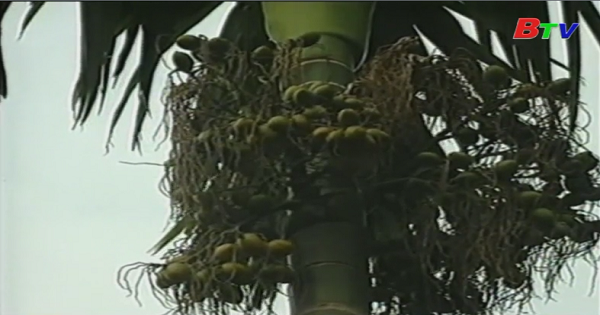 Huyền thoại về cây cau, lá trầu