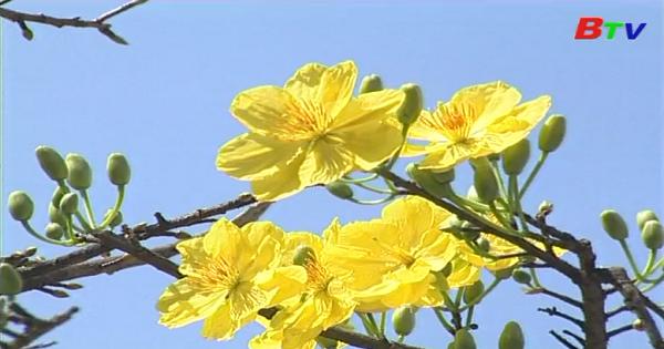 Hoàng mai- Bách hoa khôi