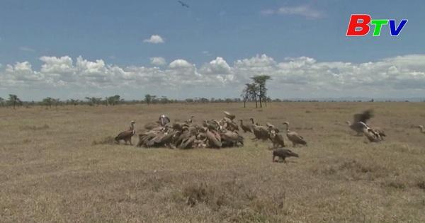 Chim Kền Kền - Nạn nhân của việc đầu độc động vật hoang dã ở Kenya
